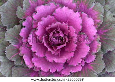 Ornamental Kale Horizontal - stock photo