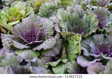 Ornamental Kale is a type of cabbage.  While it can be eaten, it is not as tasty as varieties that are specifically bred for culinary purposes. - stock photo