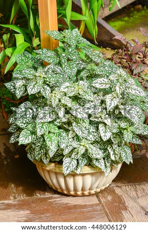 Ornamental leaf plant called Polka Dot plant (HYPOESTES PHYLLOSTACHYA)