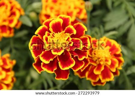 Ornamental marigolds - stock photo