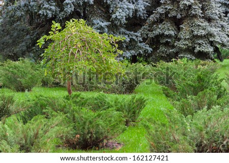 Ornamental Public Gardens and Bushes greenery and spruce. - stock photo