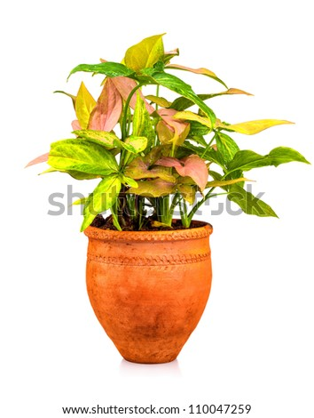 Ornamental tropical plant planted on a red clay pot isolated on a white background - stock photo