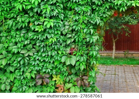 Ornamental  Wall From Wild Grape Vine On The Backyard - stock photo