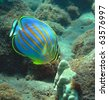 Ornate Butterflyfish in Honolua Bay, Maui. - stock photo
