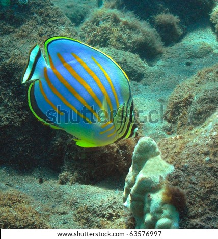 Ornate Butterflyfish in Honolua Bay, Maui.
