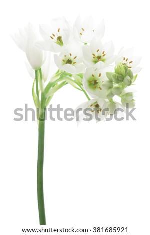 Ornithogalum on white background - stock photo