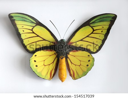 Ornithopeta Goliath Supremus Beautiful giant butterfly stuffed - stock photo