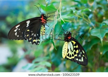 Ornithoptera priamus butterflies (male and female) - stock photo