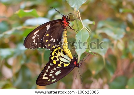 Ornithoptera priamus butterflies mating (male and female) - stock photo