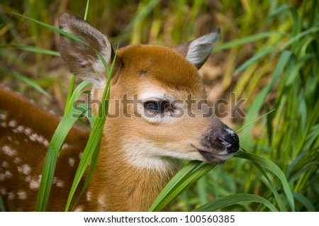 Orphan Whitetailed Deer - stock photo