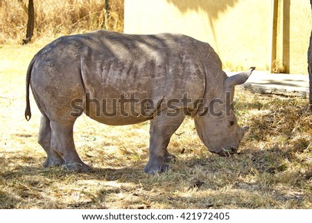 Orphaned baby rhino being raised at a rehab facility at Kruger National Park - stock photo