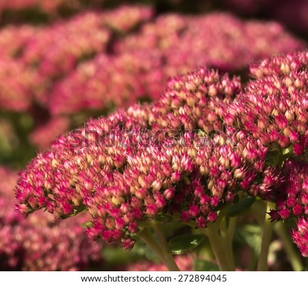 Orpine, Hylotelephium Telephium flower closeup - stock photo
