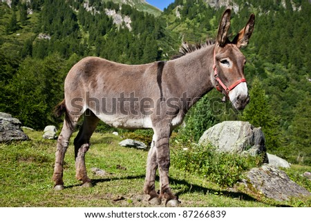 Orsiera Park, Piedmont Region, Italy: a donkey free in the park - stock photo