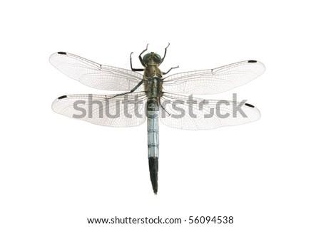 Orthetrum albistylum (male) - stock photo