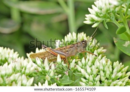 Orthoptera insects, short amount minus locust   - stock photo