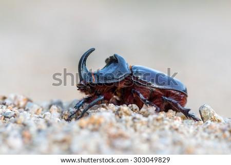 Oryctes nasicornis - European rhinoceros beetle - stock photo