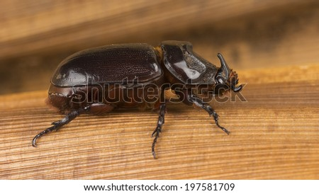 Oryctes rhinoceros or Asiatic female rhinoceros beetle crawling on old brown coconut palm perole - stock photo