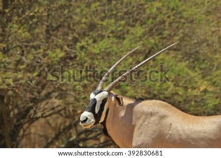 Oryx Antelope - African Wildlife Background - Gemsbok of Horns and Grace - stock photo