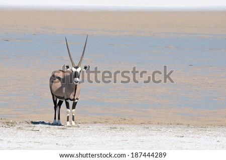 Oryx at Fischer's Pan, Etosha National Park, Namibia  - stock photo