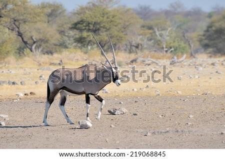 Oryx at the Nebrownii waterhole, Etosha National Park, Namibia  - stock photo
