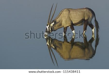 Oryx at Waterhole - stock photo