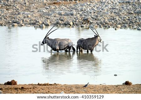 Oryx, Etosha National Park, Namibia - stock photo