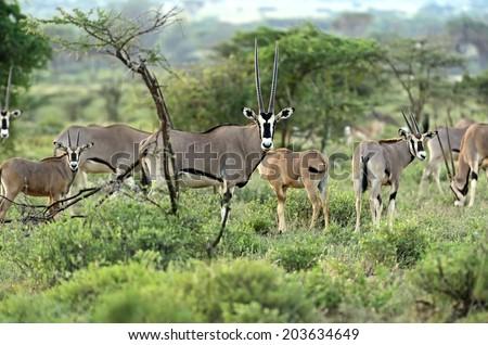 Oryx gazella African Samburu national park. Kenya - stock photo