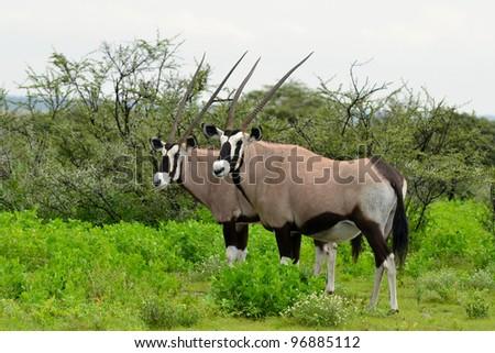 oryx gemsbok antelope,Etosha,Namibia - stock photo