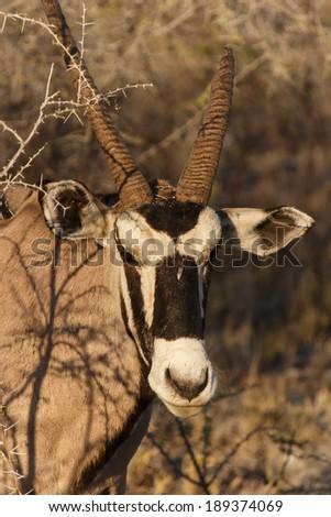 Oryx / Gemsbok in Etosha National Park in Nambia, Africa - stock photo