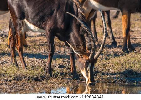 Oryx / Gemsbok (Oryx gazelle) by water, Chobe National Park - stock photo