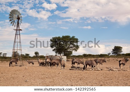 Oryx grazing in the desert in hot and dry sun hungry - stock photo