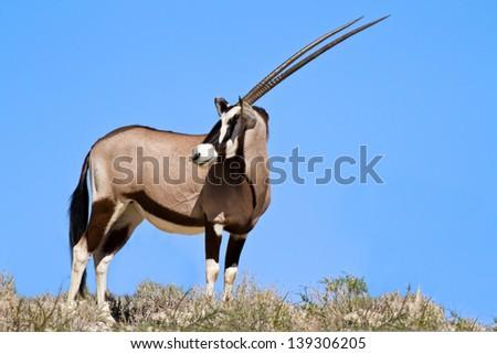 Oryx grazing in the desert white sand blue sky - stock photo
