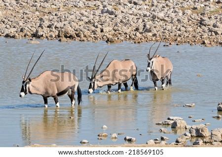 Oryx in the water, Okaukeujo waterhole, Etosha National Park, Namibia  - stock photo