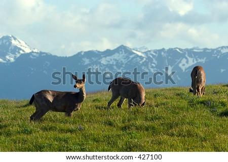 Os cervos da mula pastam por Furacão Cume, parque nacionalolympic, WA - stock photo