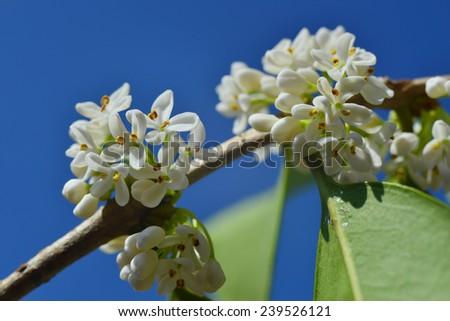 Osmanthus fragrans (Sweet olive) - stock photo