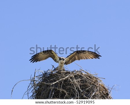 Osprey arriving at it's nest with wings unfurled