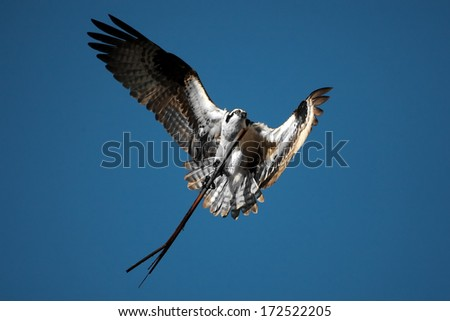 Osprey carrying a long stick to his nest - stock photo