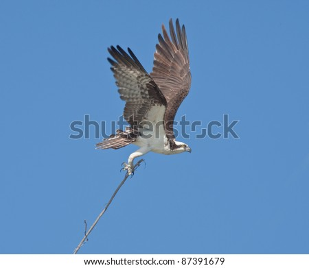 Osprey carrying very long stick to his nest. Latin name - Pandion haliaetus. - stock photo