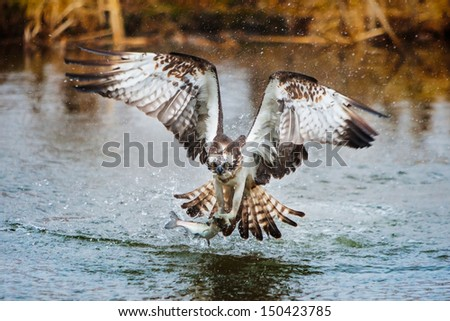 Osprey catching a fish - stock photo