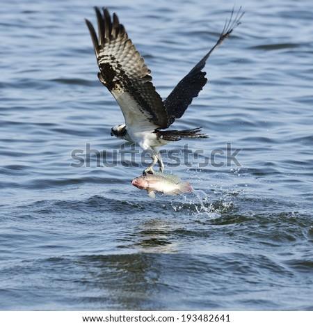 Osprey Catching Fish In Florida Lake - stock photo