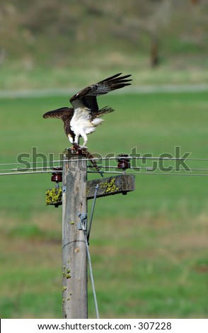 Osprey feeding on a trout he had just caught from the river in St Regis Montana. - stock photo