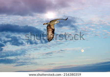 Osprey flying against a sun and moon lit sky approaching sunset - stock photo
