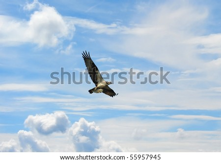 Osprey flying high in clouds with fish over Chesapeake Bay - stock photo