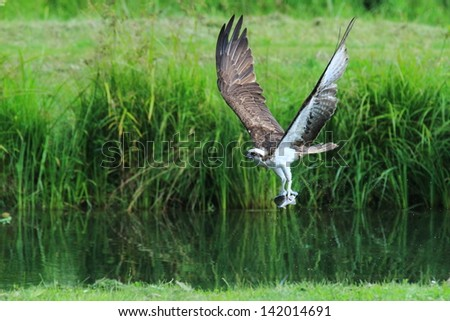 osprey hunting for trout advance favorite in finland birdlife birds of prey wildlife - stock photo