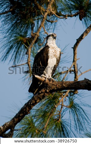 Osprey in a tree - stock photo