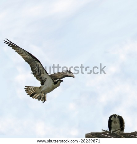 Osprey in flight heading to female in nest (Pandion haliaetus) - stock photo
