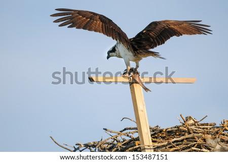 Osprey in flight with a fish, Alberta Canada - stock photo