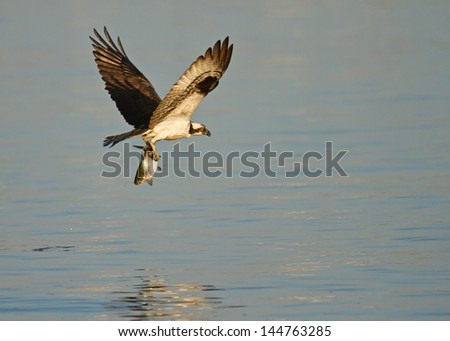 Osprey in flight with fish caught from James River, Virginia - stock photo