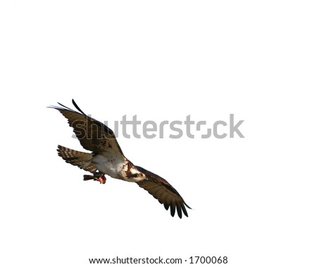 Osprey in flight with half eaten fish