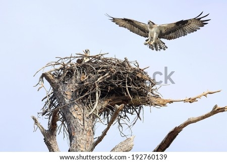 Osprey in the nest with it's mate coming in for a landing  - stock photo
